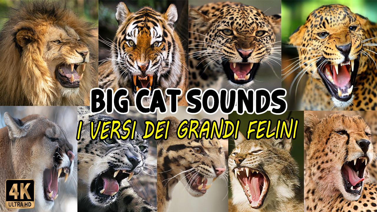 I Versi dei Grandi Felini | Big Cat Sounds