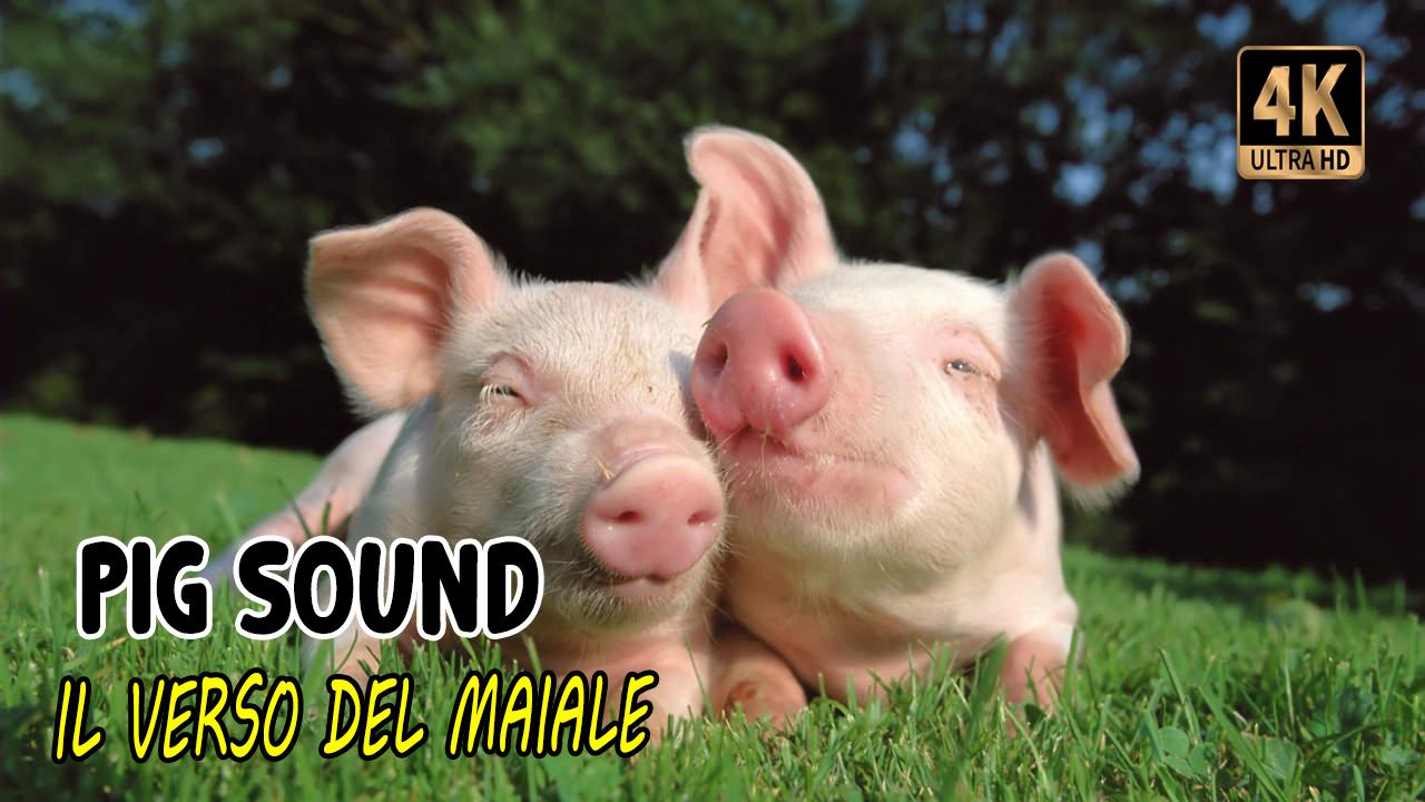 Il verso del maiale   Pig sounds