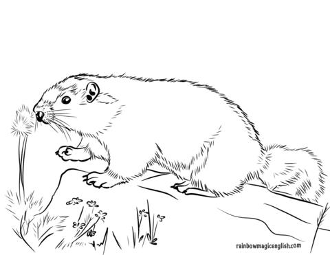Marmotta da colorare