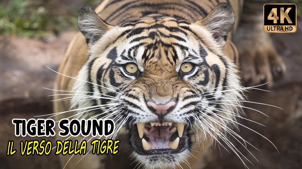 Il verso della tigre | Tiger sound