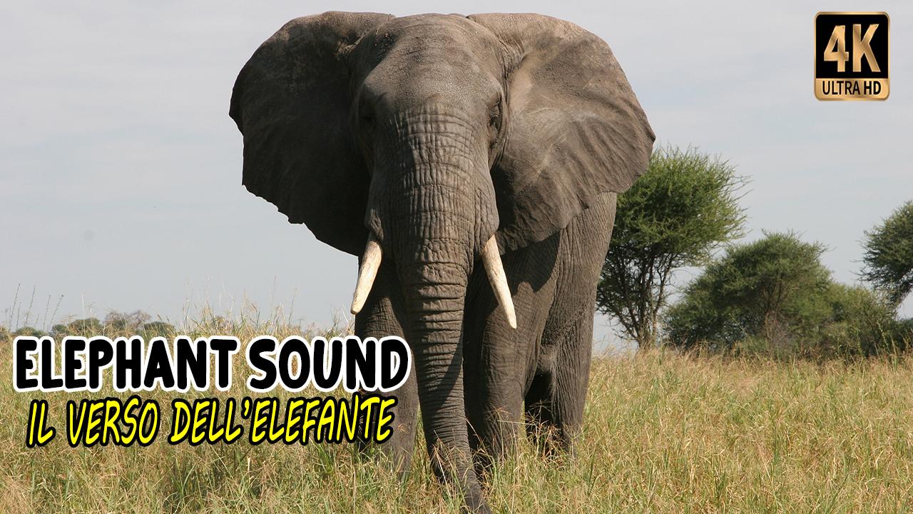 Il verso dell'elefante - Barrito   Elephant sound - Trumpeting